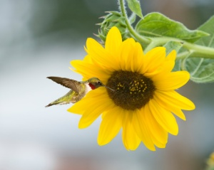 Hummingbird-Sunflower