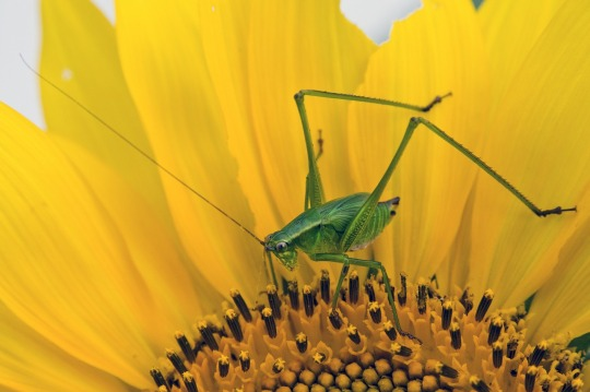 grasshopper-sunflower